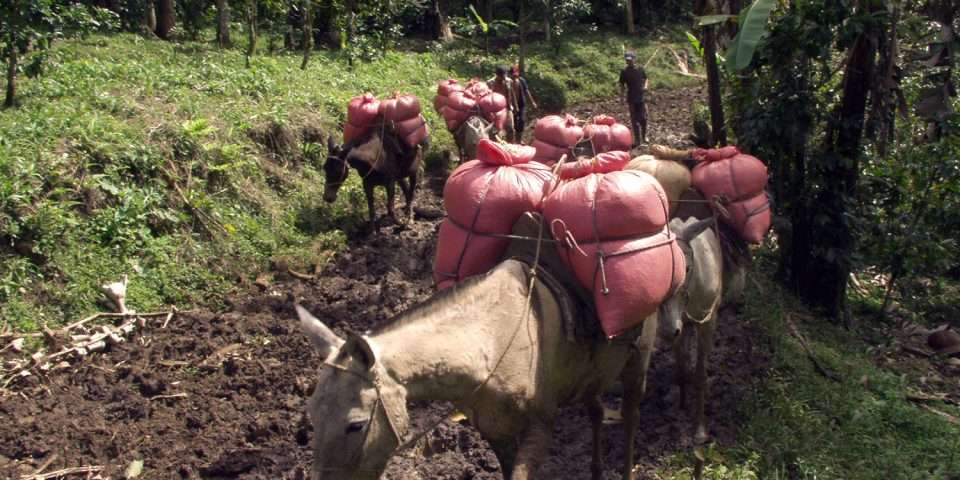 Transporting green coffee by mule