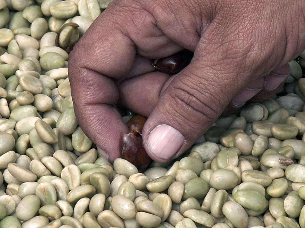 Green coffee quality controle