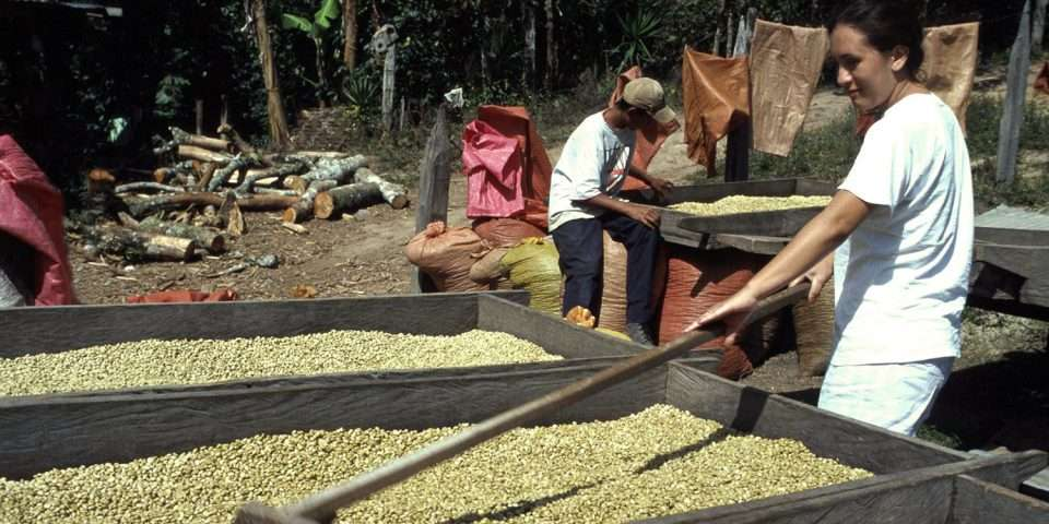 Drying green coffee
