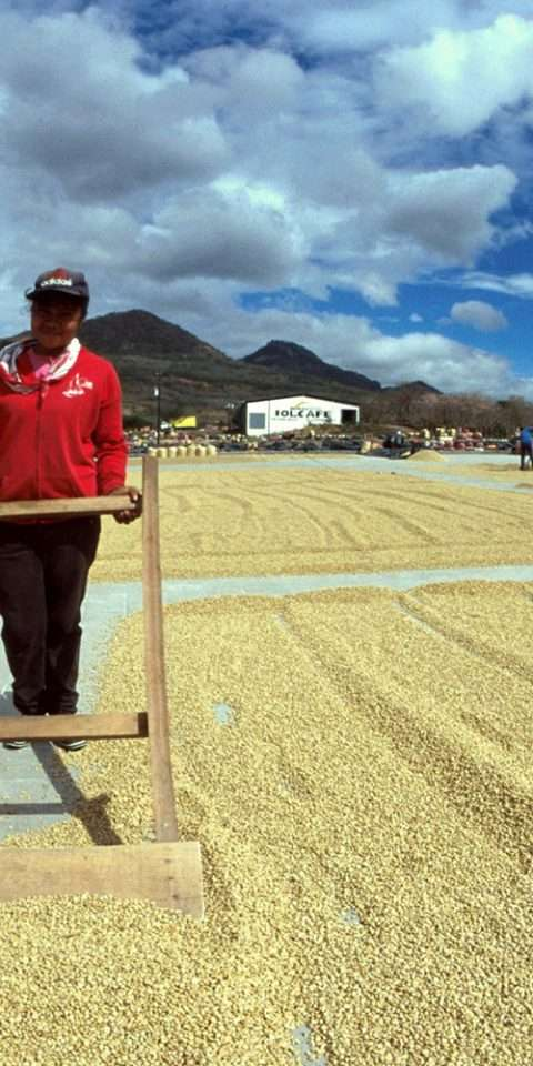 Drying green coffee beans