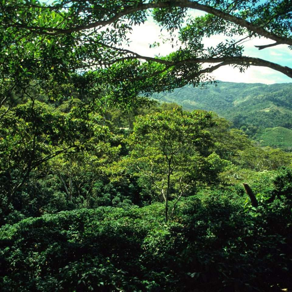 Green coffee valley