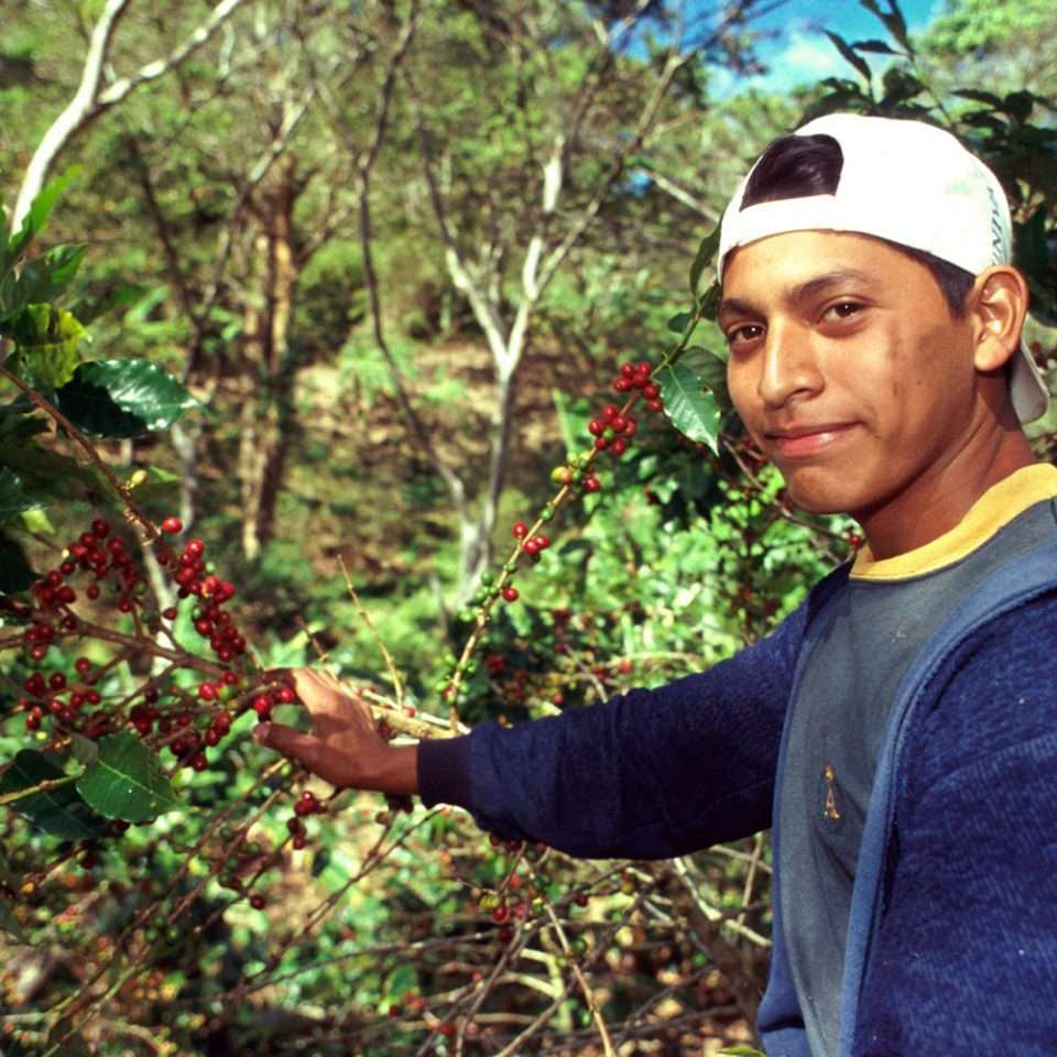 Harvesting green coffee